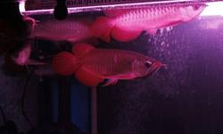 We supply best quality arowana fishes and Rays of all specie at very affordable prices. Delivery available to any city. Our arowana fishes are 100% healthy,with all certifications and ownership documents including the microchip documents we also have a