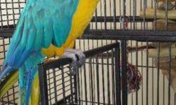 I have a healthy female DNA tested and proven breeder. She is banded and in full feather. Very healthy great diet he's 8 months old and talks a lot. She will be coming with her full standing cage and toys.She loves to be the center of attention and will