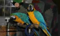 "Friendly Blue and Gold Macaw Parrots Ready Now.This abbies are very good boys and girls.They steps up on command, can whistle parts of the Andy Griffith theme, is beginning to try to vocalize words/sounds, if you say ""pretty girl"" They will whistle, and"