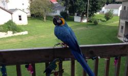 I have a 14 year old Blue/Gold Macaw for sale. He is very friendly and very tame. He has never bitten anyone. He has a large vocabulary and loves his baths and summer walks. I have to find him a new home because I am moving and already have 1 bird that I