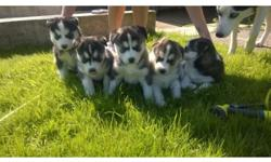 Please meet our 4 Siberian husky puppies ready for their new home. Born 4/4/2014 , very friendly and affectionate . We have 2 boys and 2 girl available for adoption .they have all their shots and are vets checked, Clean Bill of Health,One Year