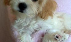 Cavalier + Bichon = Cavachon Beautiful, fun, sweet Feel free to visit our website http://www.bichonsandwestiesrus.com to view more pictures or call 325-265-4414