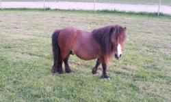 Beautiful miniature horse stud. Harley is very gentle and loving. He looks forward to his daily treats. He is a proven breeder. He turned 4 years old this past Dec. Please text or call for more info. 606.309.5418. I can NOT return emails. Thank you.