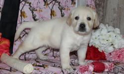 YO! I'm George, the electrifying blonde male AKC Labrador Retriever! I was born on June 17, 2016! They're asking $650.00 for me! I'll come vet checked, with my shots and worming to date. I can't wait to have a someone to love me and to play