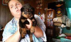 German Rottweiler puppies $ 600 each. 1 male and 2 females. Ready 10 / 27 parents on premises. NO PAPERS 7249981032 willing to consider trade for car, truck, camper, rv, atv, or guns