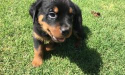 Our Rotties, Achilles and Isis vom Sudberghaus (Isis is an Egyptian Goddess and was named before the terrorist group) had a litter of pups and we are looking to find loving homes for them. Available for purchase are three GORGEOUS female Rotties. Our pups