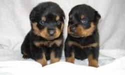 Beautiful German Rottweiler Puppies avail. only 1 male and 2 females left. parents on site. small family breeder. our dogs r our family! we raise our pups for size and temperment. dad is 160 mom is pre preg wt 110. beautiful mahagony and black markings.