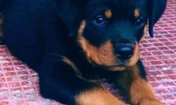 superior german rottweiler female puppies availavle. all males spoken for at this time. if you are looking for a quality bred rottweiler puppy you are in the right place. these are produced from world class respected stock and are great for family dogs or
