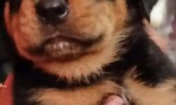 Hello, i have a Male German Rottweiler Puppy. He's 8 weeks old. First shots and second shots.  Docked tail, dewormed and working on potty trained. Both parents are full german. Father its AKC. Mother its big to be a female. They great with kids and