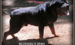 AKC Rottweiler pups tails docked big and stocky nice block heads 1st shots and dewormed beautiful puppy's both parents on site