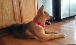 Beautiful German Sheperd, only 13 weeks old, playful and great for kids, includes, Shots, AKC papers and Crate.