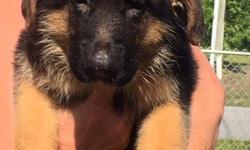 ?8 weeks Old - AKC - Ghandi Von Arlett Lines  Beautiful Deep Black and Red 8 week old pups, First two shots, Dewormed, Home Raised, AKC Registered - Ghandi Von Arlett Lines