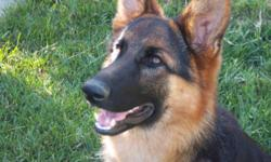 Beautiful pure bred 11 month male german shepherd. Great with kids, dogs and has great drive. Black/red markings and is not neutered.