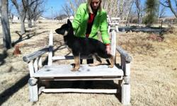 purebreed akc champion bloodlines, both work and show. blk/tan. shots. --