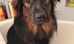 German Shepherd mix puppy 10 months old. Needs lots of loving and room to play. He is 60 pounds already so he will be a big boy. He was a rescue puppy and is extremely shy around people he doesn't know. He will need a lot of attention to build up