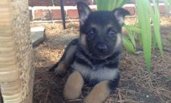 Beautiful and smart German shepherd pups first shot and check up already done pups are very sweet love children, also already kennel potty trained. Mom and dad AKC, mom is on site. Come by and check out the pups they are ready for their new homes