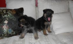 SHEPHERDS OF HAMPTON. Beautiful big boned GERMAN SHEPHERD Pups(Black & Cream/ Black & Red). Puppies will be the larger Shepherds weighing between 98-123lbs depending on the sex. Our babies are hand raised with lots of love and attention and is socialized