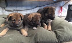 Adorable German shepherd mix puppies. Great coloring and temperament! Healthy puppies with both parents on premise! Farm raised! Only 3 males and 3 females left! Must see in person! If interested contact by phone 217-414-8988.