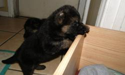 6 WEEK OLD PUPP BLACK/RED MAMA AND PAPA ON PREMISES CALL OR TEXT ERNESTO --