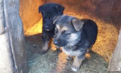 I have 5 German Shepherd puppies for sale they do not have Akc registration but they are full blood and inteligent I also have their mom and dad on site. Call me or text me at 4173100013 for pictures.
