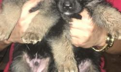 GERMAN Sherperd puppies ready to go home eating solid foods.healthy ,very friendly. Lovable, mom on site ..2 females, 5 males.8 weeks