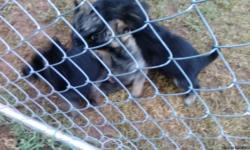AKC German Shepherd puppies 850 each males and female phone number 4043239292 email tcone365@gmail.com