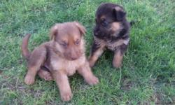 I'm rehoming PURE BREED Black/tan and Liver color German Shepherd puppies. They have their first puppy shots, and are already eating and drinking water on their own. They will come with their first set of puppy shots. I also have the parent on site. You