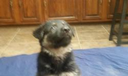 German Shepherd puppies 4 males 4 females first shots and wormed. Parents on site. 400.00 females 350.00 males contact Ron 937 974 2234.