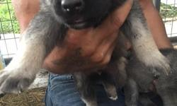we have both parents on site, and two beautiful white puppies, and others that are regular german shepherd markings. first shots given. call or text 620.216.0543