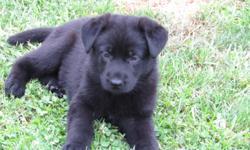 AKC Reg two Healthy and Lovingleft black German Shepherd Pups. UTD on shots. Calle 317-366-2049