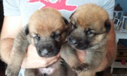 3 male German Shepherd/Wolf dog puppies to be rehomed. We are asking a $100 rehoming fee for each puppy. The father is a registered German Shepherd and the mother is a registered Wolf dog (Arctic Timber wolf and German Shepherd).