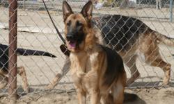 5 females ages 3 to 6 years mature and great temperament. 2 males 2 to3 years of age out going freindly but good protector. ideal family dogs. www.cantargsd.com