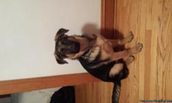 5 month old male german sheppard.The dog is neutured already. Hasa chip and rabbi shot already.Brown with black. We cant have him in our apartment. Any available candiates that are willing to buy him please call