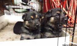 Female German Shepards for Sale. Black and Tan. Very Cute. Already had first shots. Email: aavelar@msn.com.