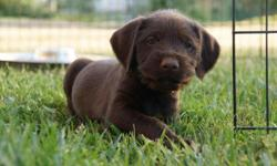 Adorable German Wire Haired Pointer Vizsla mix puppies for sale 3 males & 1 Female - Whelped 5/2/14.  Pointers and Vizslas are very determined, active and intelligent. They are gentle-mannered, loyal, caring, and highly affectionate. They
