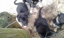 I have 4 Pure Bread German Shepherd Puppies for sale with Full Health CERT. Born 1 Jan 2014. Medley /North American Champian Pure Breed parents that are AKC Registered.