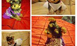 10 week old girl toy yorkie available for $1,100. AKC registered with 5 generations of pure pedigree & 6 champions in her bloodline. Tail has been docked, dew-claws removed, & she's current on his shots. Her parents are in the other picture.She has