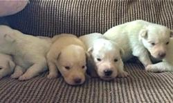 GOBERIAN litter of six cream-colored and white BLUE-EYED puppies will be ready for new homes just before Thanksgiving. Xanadoodle GOBERIAN pups from very sweet Penny and calm Siberian Husky, Saint, will be calm, sweet, non-barky, people-pleasing pups with