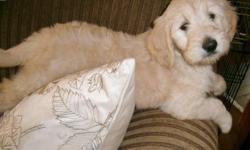 WE HAVE A BEAUTIFUL LITTER OF NINE... DAM IS GORGEOUS POINTED ENGLISH BRED GOLDEN.. SIRE IS STANDARD POODLE BOTH ARE AKC REG. BOTH GIRLS AND BOYS WILL BE READY ON SEPT 27 2014 THEY WILL BE EIGHT WEEKS OLD.. SHOTS AND COMPLETE HEALTH CHECK HAS BEEN DONE ON