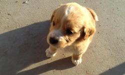 Vendo un perrito de raza Golden Retriver nacio 2/10/14 es macho