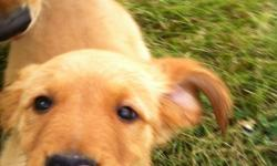 Golden Retriever-AKC puppies-Ready now! First shots, wormed, includes health guarantee. Gorgeous medium golden pups. Absolutely NO shipping. Family raised. You will be welcome to see where puppies sleep and play! 2 females