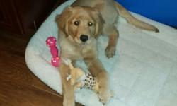 3 month old female golden retriever with papers. 2 sets of shots, housebroken, bed, toys, and dishes included. $350