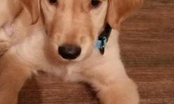 Need to find a forever home for my Golden Retriever pup. He is about 12 weeks old. He has been dewormed, has just had his 2nd vaccine and been checked out at the vet. He is very health, happy, & energetic. I have paid for all his vaccines in advance,