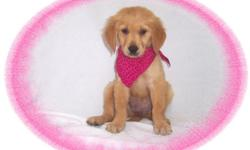 This baby girl is gorgeous! She is very gentle and has a sweet personality. She would love an active family to call her own.She comes with her first series of shots, wormings and a Vet Health Certificate. She also comes with a complete puppy packet that