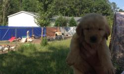 We have many puppies for sale, we have one light golden, and7 goldens,and 9 rare black goldens. Willl be ready August 15, taking deposits (20%) now. These are very beautiful dogs, very loving and playful. They will have their first