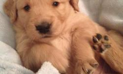 8 week old goldens 4 females 1 male ready to find great homes.