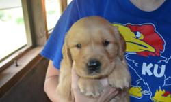 2 male golden retrievers ready in 2 weeks all vaccinations current AKC registered we need a home