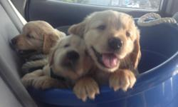 5 golden retrievers puppy, 2 month old, 3 females, 2 males , health cert. APR papers --