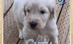 GoldenDoodle Puppies. Born May 2nd on Charlie's, aka Charlotte's, 4th birthday. Sired by Bentley, both parents AKC registered. Located in Lander, WY. Please email mizlizzle@yahoo.com for pictures if interested. Ready to go in 1-3 weeks!