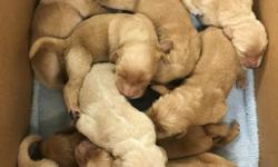 Goldendoodle puppies are 1/4 poodle and 3/4 golden retriever. They are expected to be 45-60lbs when full grown. Females are going for $1,000 and males are going for $800. A non-refundable deposit of $200 is required when you pick out your puppy.